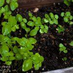 【スパイス豆知識】スイートバジルの育て方|家庭菜園はじめました。