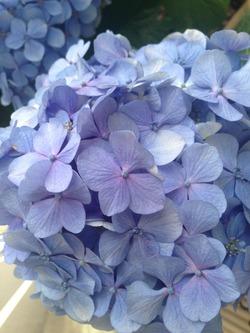 季節の花 紫陽花