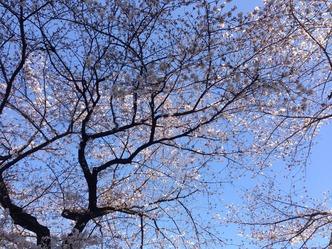 桜 お花見ピーク